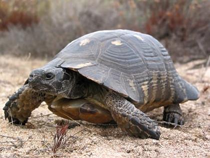 Männliche Breitrandschildkröte (Testudo marginata) im natürlichen Lebensraum auf Sardinien