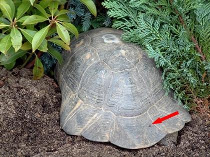 Breitrandschildkröte (Testudo marginata) zwischen verschiedenen Buschpflanen