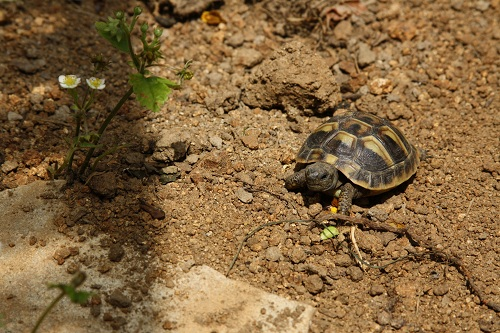 Zweijähriges Jungtier der Griechischen Landschildkröte im Frühbeet (Trockenbereich). (C) Dominik Müller