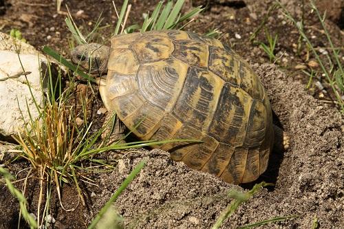 Griechisches Weibchen (Testudo hermanni boettgeri) beim Ausheben der Eigrube. Foto: Dominik Müller