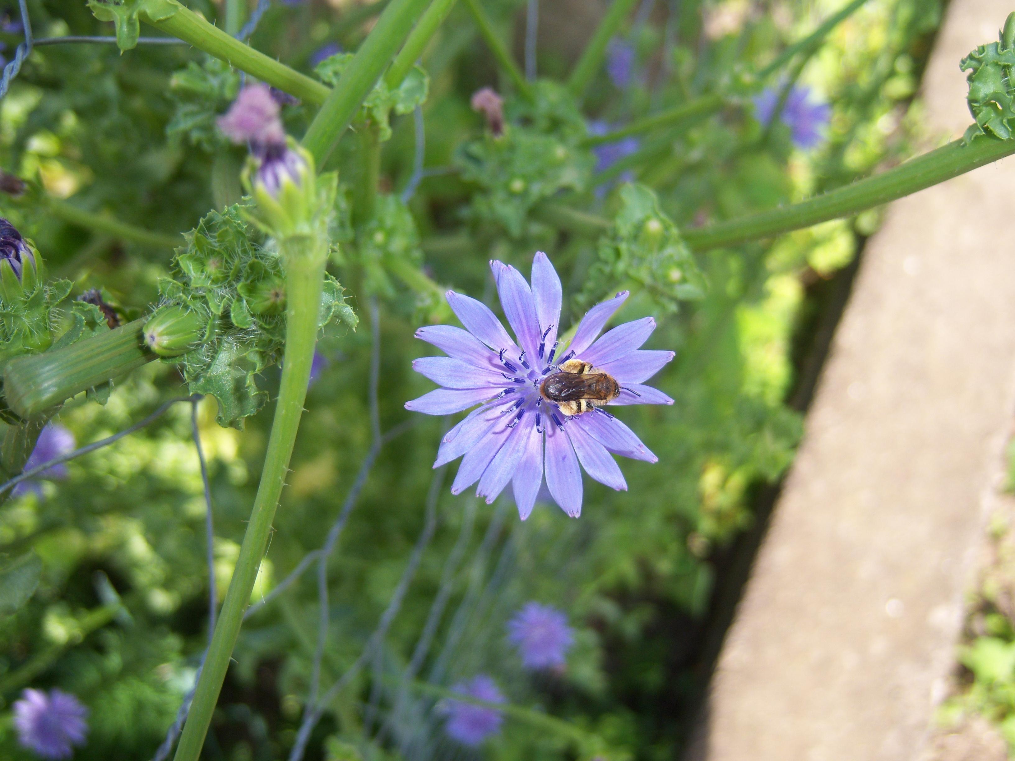 Endiviensalat (Cichorium endivia), Foto: wikipedia.de