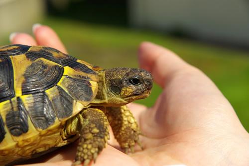 Italienische Landschildkröte (Testudo hermanni hermanni). (C) eloleo, fotolia.de