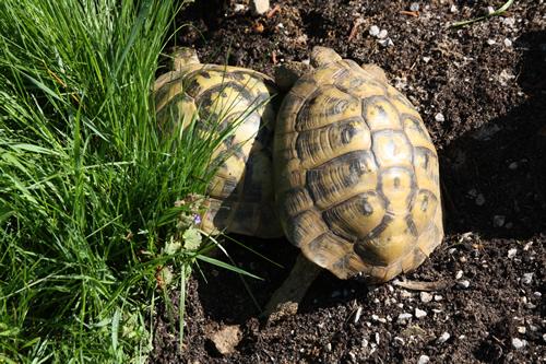 Pärchen der Griechischen Landschildkröte (Testudo hermanni boettgeri), Männchen rechts, Weibchen links, Foto: Dominik Müller