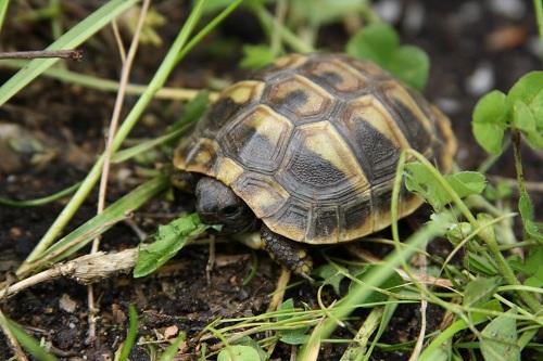 Zweijähriges Jungtier der Griechischen Landschildkröte im Feuchtbereich des Frühbeetes. (C) Dominik Müller