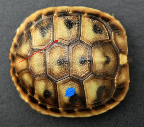 Schlüpfling einer Griechischen Landschildkröte (Testudo hermanni boettgeri). (C) Dominik Müller