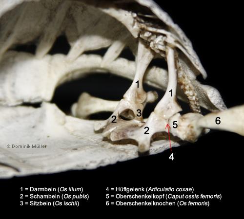 Beckengürtel einer Maurischen Landschildkröte (Testudo graeca). (C) Dominik Müller