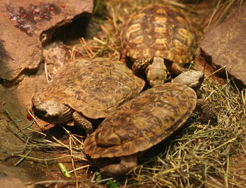 Spaltenschildkröten (Malacochersus tornieri) zwischen einigen Felsplatten. (C) Dominik Müller