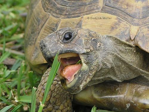 Schnappschuss einer Griechischen Landschildkröte (Testudo hermanni boettgeri). (C) Dominik Müller