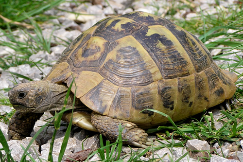 Eine etwa 50-jährige Griechische Landschildkröte (Testudo hermanni boettgeri). (C) Dominik Müller