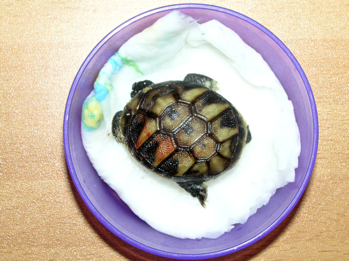 Frisch geschlüpfte Griechische Landschildkröte (Testudo hermanni boettgeri). Foto: Dominik Müller