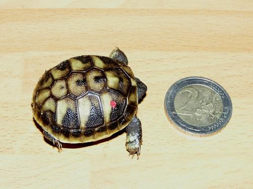 Größenvergleich eines Schlüpflings (Testudo hermanni boettgeri) und einer 2-€-Münze. (C) Dominik Müller