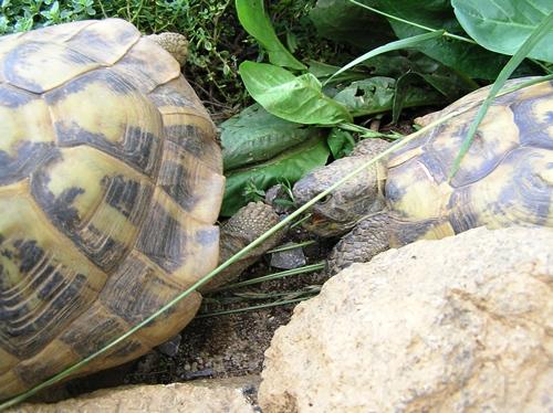 Auch das Beißen ist fester Bestandteil des Balzverhaltens der Griechischen Landschildkröte (Testudo hermanni boettgeri). Foto: Dominik Müller