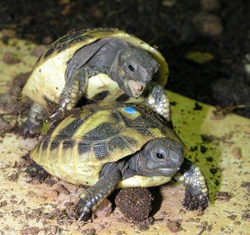 Dominanzgehabe unter Jungtieren der Griechischen Landschildkröte. Foto: Dominik Müller