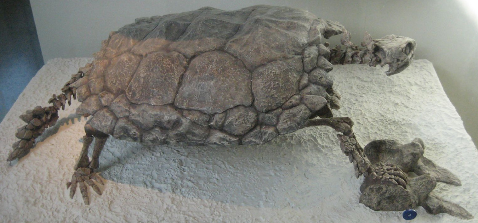 Stammesgeschichte (Phylogenese) der Schildkröten
