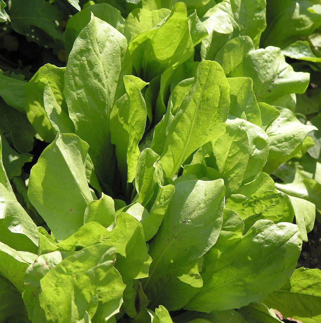 Catalogna, Schnittzichorie, Blattzichorie (Cichorium intybus L.), Foto: wikipedia.de