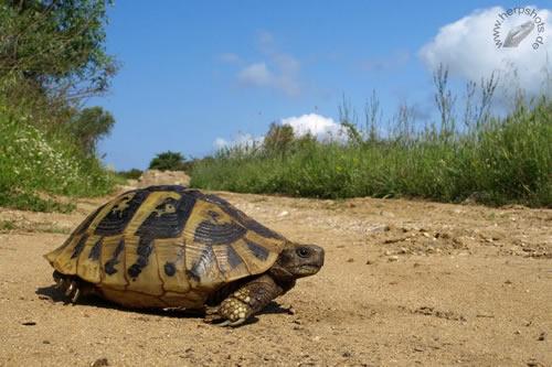 Aufnahme einer Griechischen Landschildkröte (Testudo hermanni boettgeri) beim morgendlichen Sonnenbaden im natürlichen Lebensraum. © S. Schmidt und A. Mohr, herpshots.de