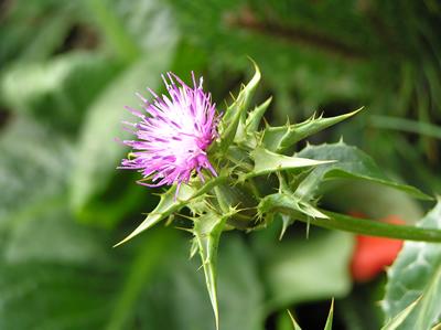 Ackerkratzdistel (Cirsium arvense). Bitte nur junge Triebe verfüttern und auf die spitzen Stacheln achten!