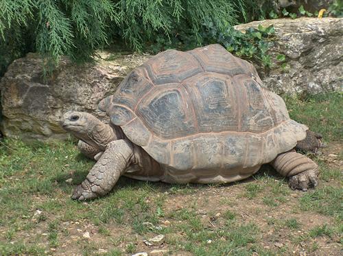 Aldabra-Riesenschildkröte (Aldabrachelys gigantea).