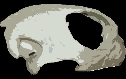 Anapsiden zeichnen sich durch einen massiven Schädel sowie das Fehlen der Schläfengrube aus. (C) Dominik Müller