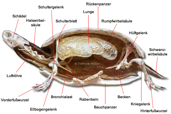 Querschnitt eines Schildkrötenskeletts - Darstellung der Atmungsorgane. (C) Dominik Müller