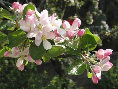 Apfelblüte/-blätter (Malus domesticus). Foto: wikipedia.de