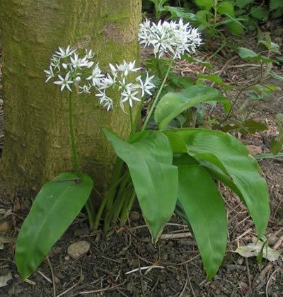 Bärlauch (Allium ursinum). Foto: wikipedia.de