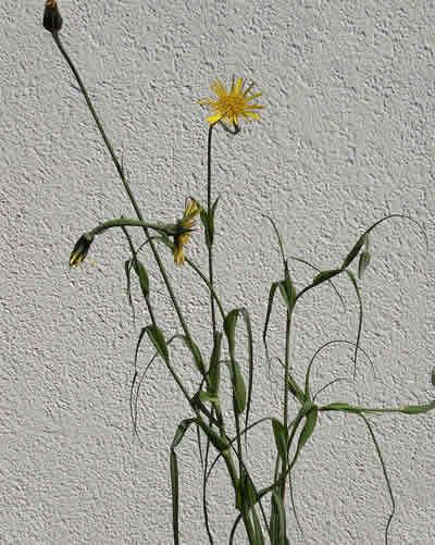 Bocksbart (Tragopogon pratensis): Foto: wikipedia.de