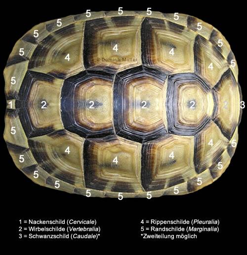 Hornschilde des Rückenpanzers (Carapax) einer Maurischen Landschildkröte. (C) Dominik Müller