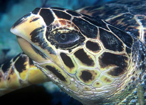 Kopf einer Echten Karettschildkröte (Eretmochelys imbricata), Foto: Tom Doeppner (GNU-Lizenz)