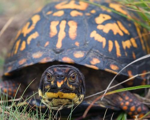 Portrait einer Carolina-Dosenschildkröte (Terrapene carolina carolina). Foto: gemeinfrei