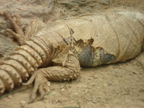 """Die Häutung (Ecdysis) der Reptilien vollzieht sich je nach Art an einem Stück oder eher """"fetzenweise"""", wie bei Schildkröten. (c) Dominik Müller"""