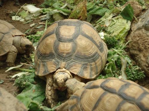Ägyptische Landschildkröte (Testudo kleinmanni) bei der Nahrungsaufnahme. (C) Dominik Müller