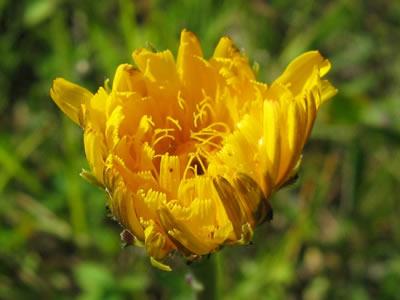 Ferkelkraut (Hypochoeris radicata). Foto: wikipedia.de