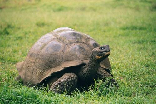 Portrait einer Galapagos-Riesenschildkröte (Geochelone nigra). Foto: gemeinfrei