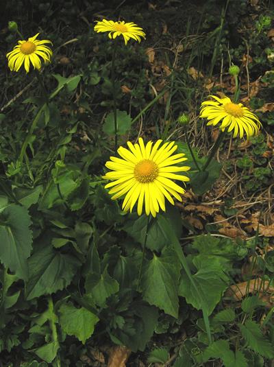 Gemswurz (Doronicum orientale), Foto: Dominik Müller
