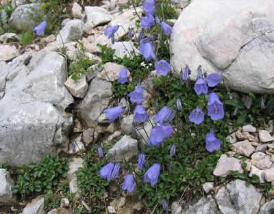 Glockenblume (Campanula sp.),, Foto: wikipedia.de
