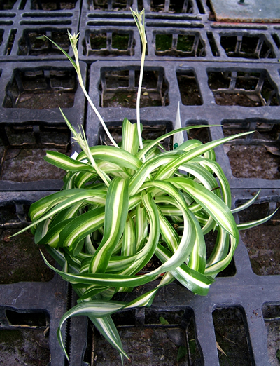 Grünlilie (Chlorophytum sp.), Foto: wikipedia.de