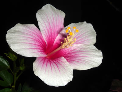 Hibiskus, Eibisch (Hibiscus sp.), Foto: wikipedia.de