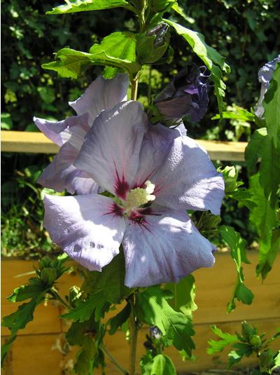 Eibisch (Hibiscus sp.), Foto: Dominik Müller