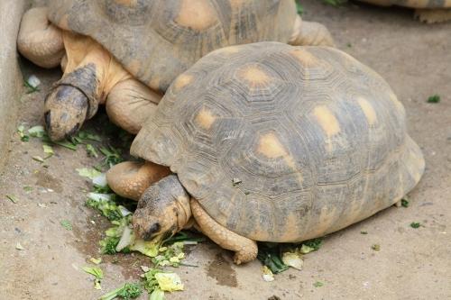 Strahlenschildkröten (Astrochelys radiata) bei der Nahrungsaufnahme. (c) Dominik Müller