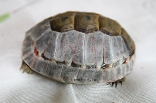 Panzer einer Maurischen Landschildkröte (Testudo graeca) nach Teilentfernung der Hornschilde, seitliche (laterale) Ansicht. Die Hornschilde wurden selbstverständlich nach dem Tod entfernt. (C) Dominik Müller