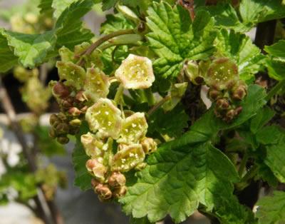 Johannisbeere (Ribes sp), Foto: wikipedia.de. Bitte nur die Blätter und Blüten verfüttern!