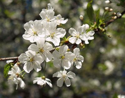 Kirschblüten/-blätter (Prunus avium), Foto: Jörg Hempel