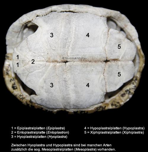 Knochenpanzer des Bauchpanzers einer Maurischen Landschildkröte (Testudo graeca). (C) Dominik Müller