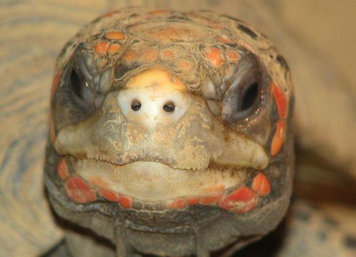 Frontalaufnahme des Kopfes einer Köhlerschildkröte (Chelonoidis carbonarius)