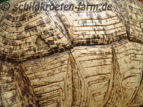 Nahaufnahme der Panzerzeichnung der in Afrika beheimateten Pantherschildkröte (Stigmochelys pardalis).