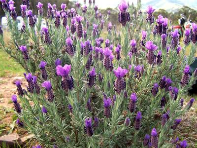 Lavendel (Lavandula sp.), Foto: wikipedia.de