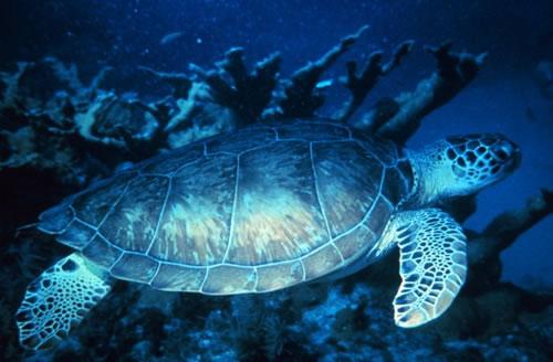 Aufnahme einer Suppenschildkröte (Chelonia mydas)