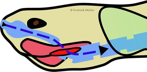 Topografischer Querschnitt Kopf/Hals - Darstellung des Luftweges während der Einatmung (Inspiration). (C) Dominik Müller