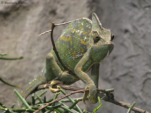 Jemenchamäleon (Chamaeleo calyptratus) auf Nahrungssuche. (c) Dominik Müller